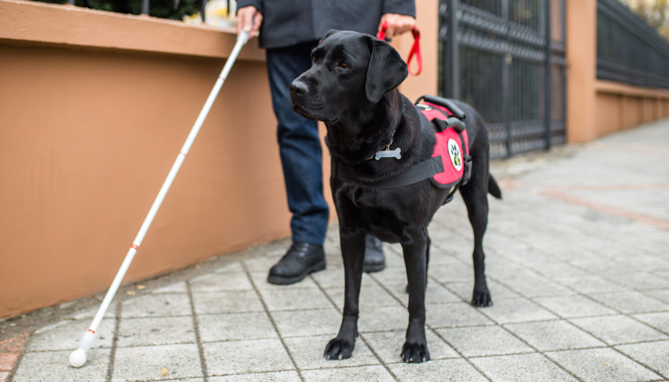 Man walking with a white cane and a black lab guide dog in a red harness.